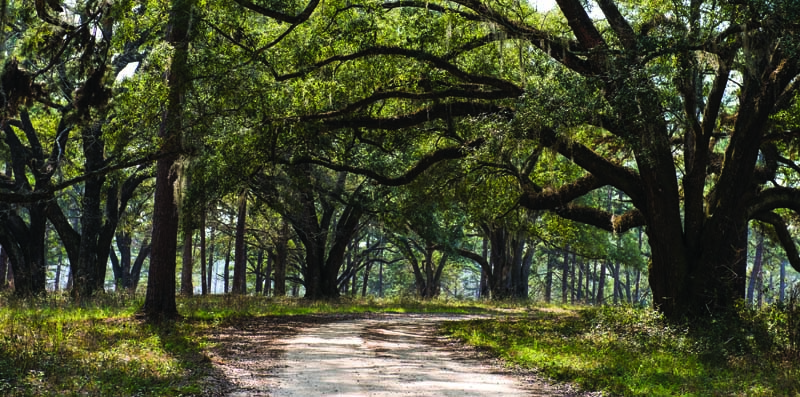 Iconic live oak trees